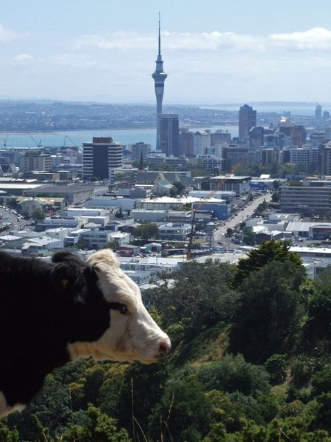 1427 Auckland, cow at Mount Eden in front of the city with Sky Tower