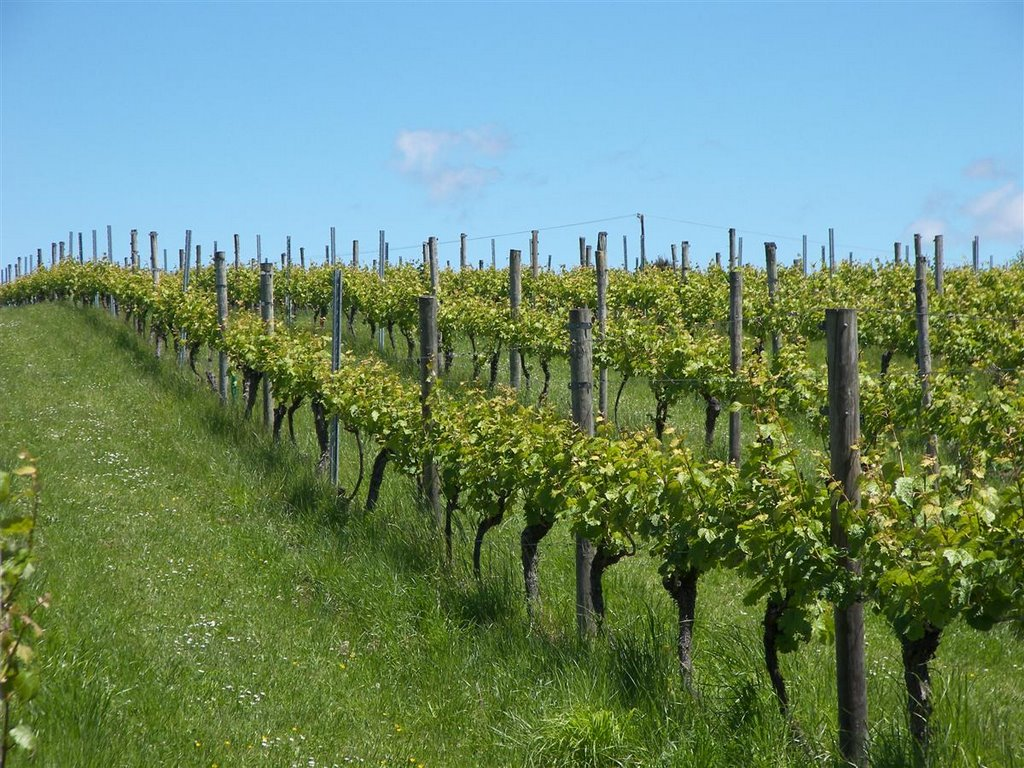 Upper Moutere Grape vines