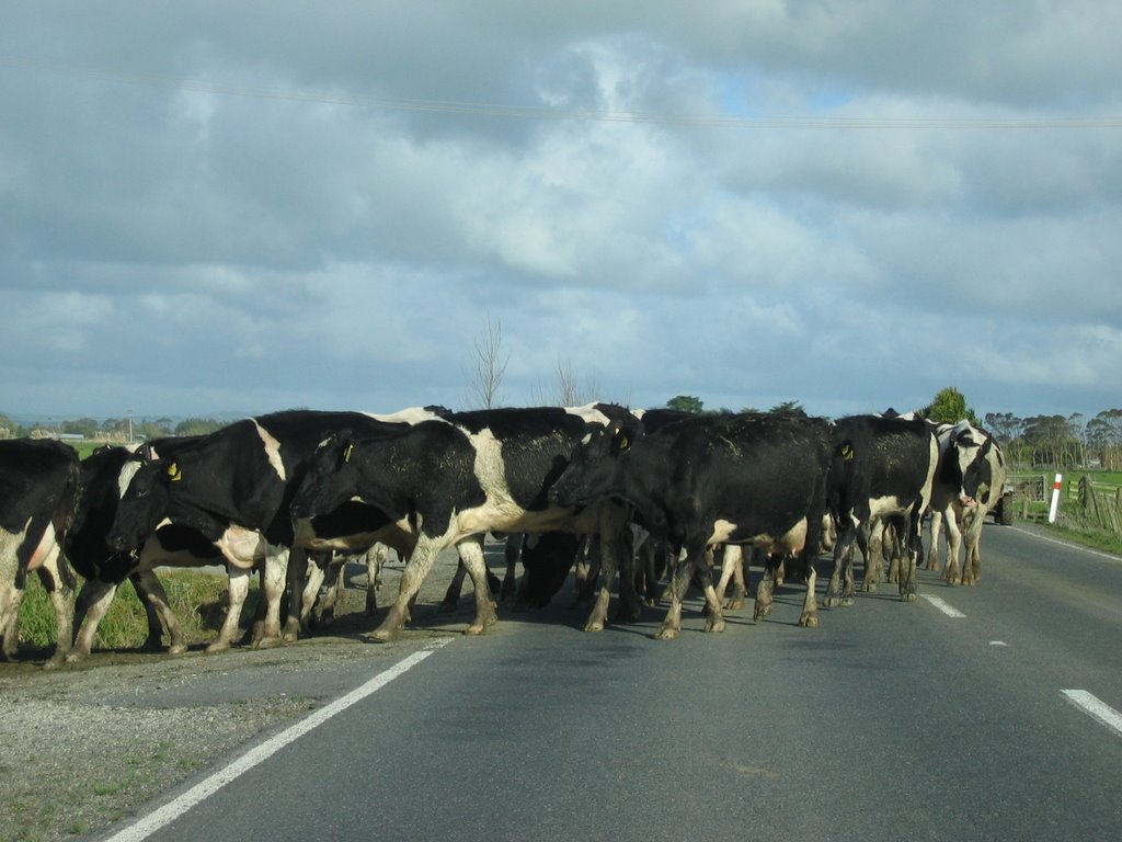 Traffic jam past Waipoua Forest Park