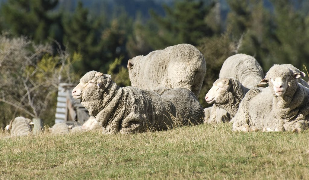 Merino Sheep on Mt. Iron (Wanaka)