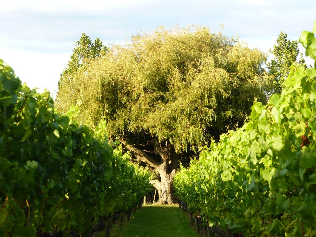 vineyard in west Auckland ( Kumeu)