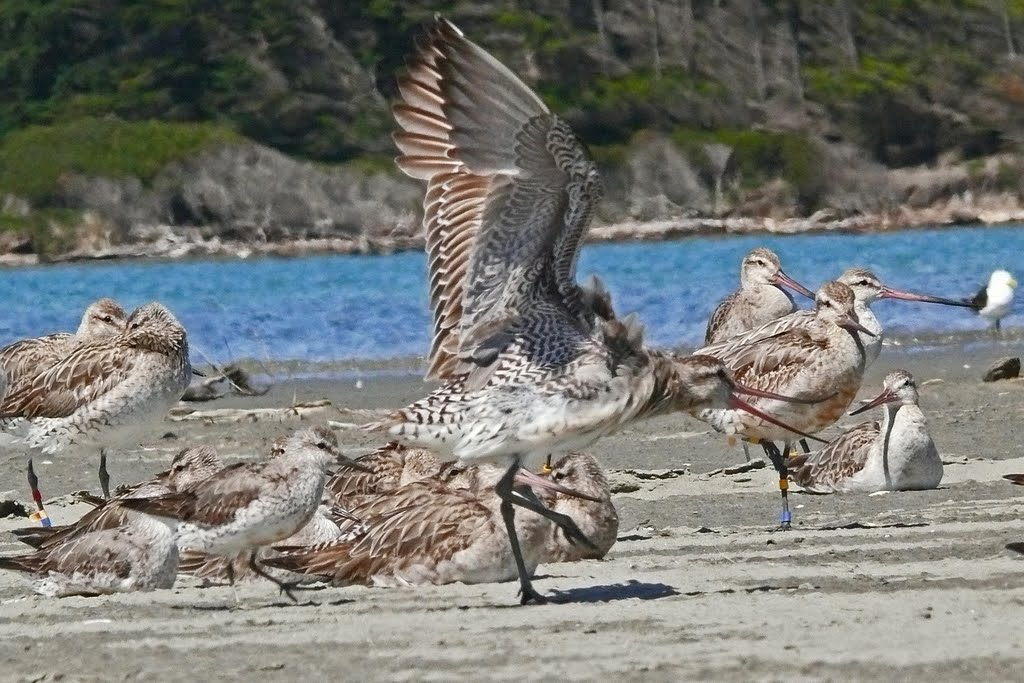 Migratory godwits and knots at the estuary of the Manawatu River