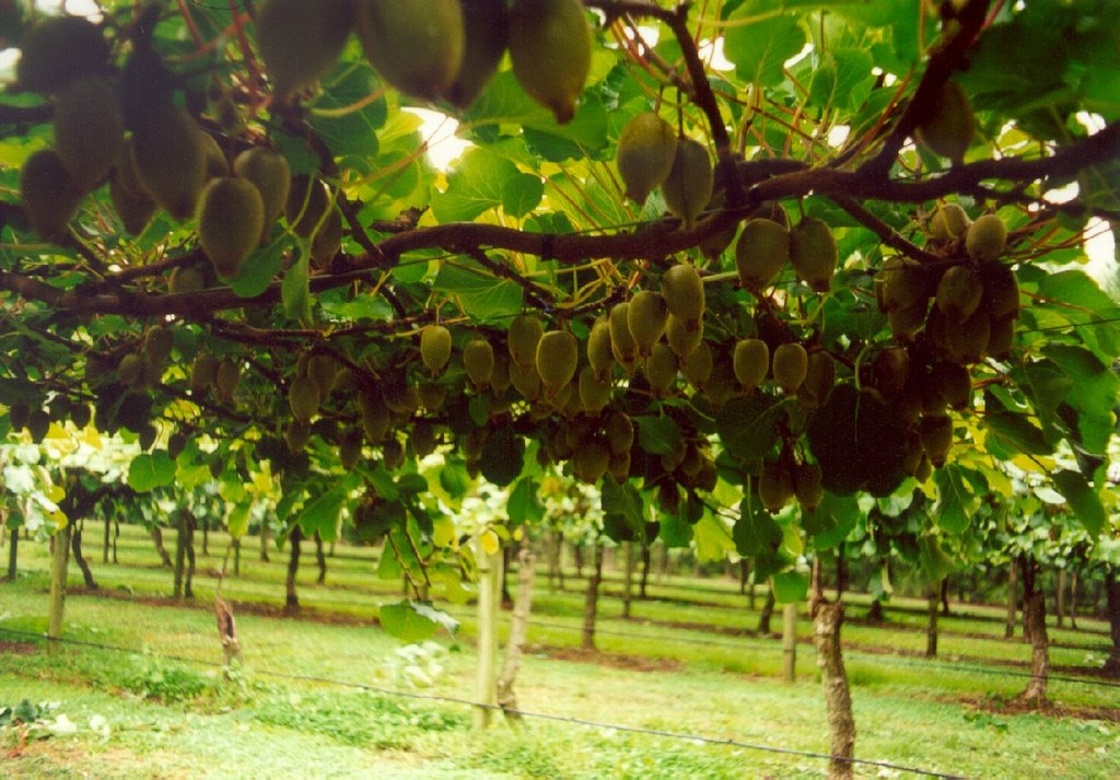 Cultivation of kiwi fruit