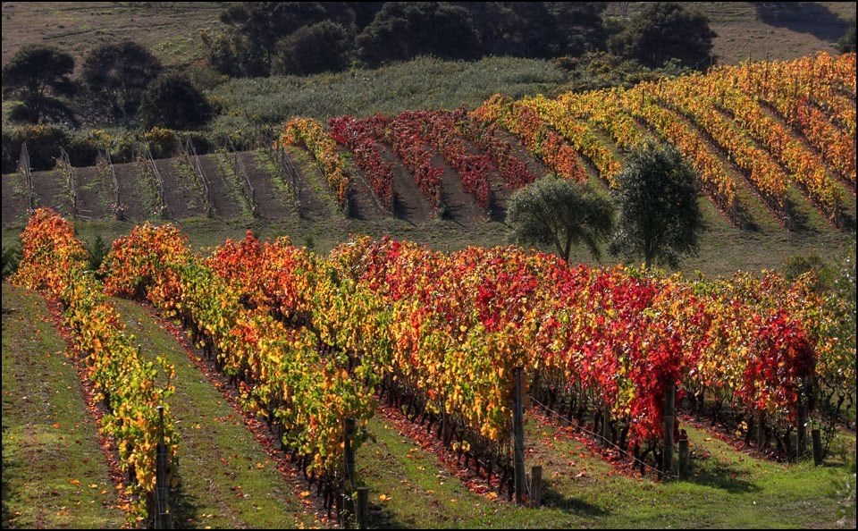 Waiheke Stonyridge vineyards in autumn colors