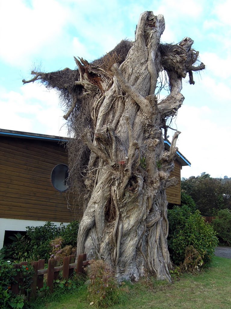 Corpse pohutukawa tree in Thornton Bay