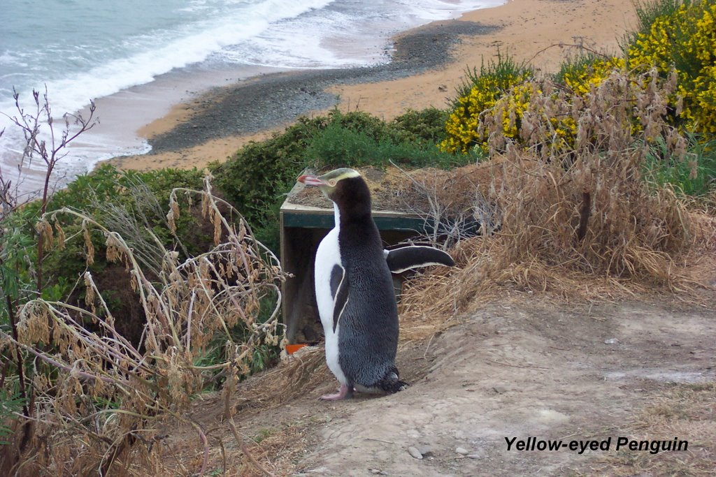 Yellow-eyed penguin - Bushy Beach Scenic Reserve