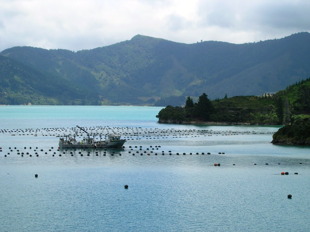North bank of Kenepuru Sound, mussels plantation