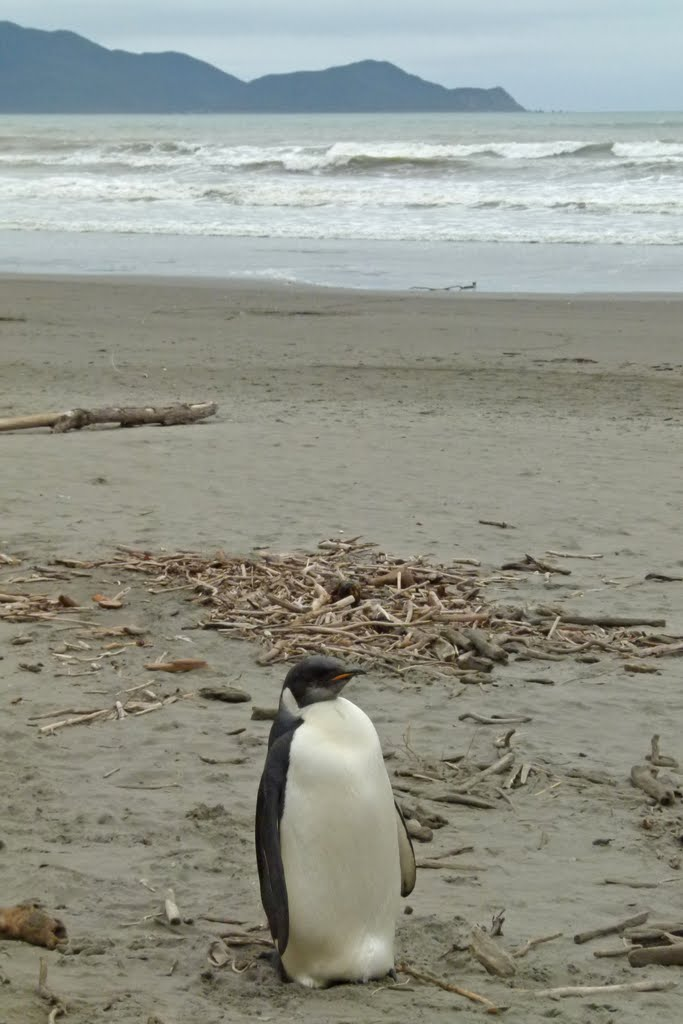 "Emperor Penguin(""Happy Feet"") at Peka Peka beach, Kapiti Coast, New Zealand"