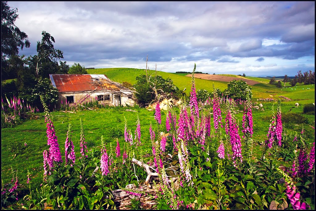 Old Farm Cottage Surrounded by Foxglove.