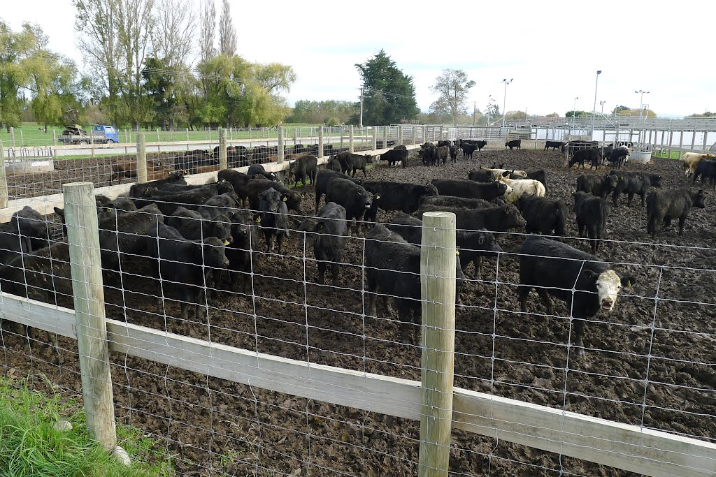Temuka: Yearlings sold