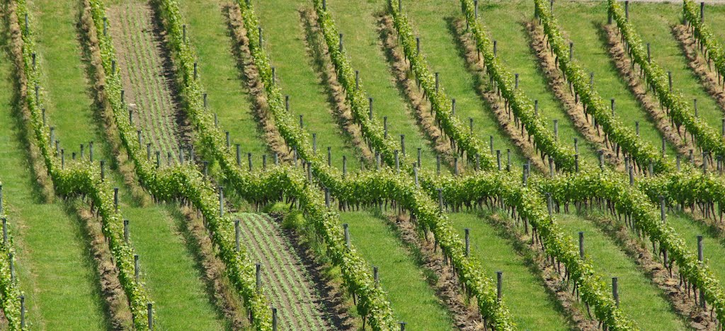 Vineyards in Marlborough, New Zealand