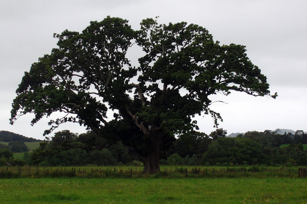 The oldest oak tree in New Zealand, Waimate North, December 2008
