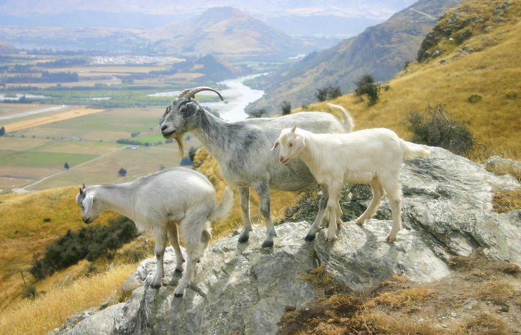 Mountain goats of Deer Park Heights by Tony Reid
